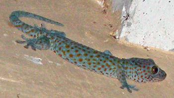 Gecko-Mossie-repellant